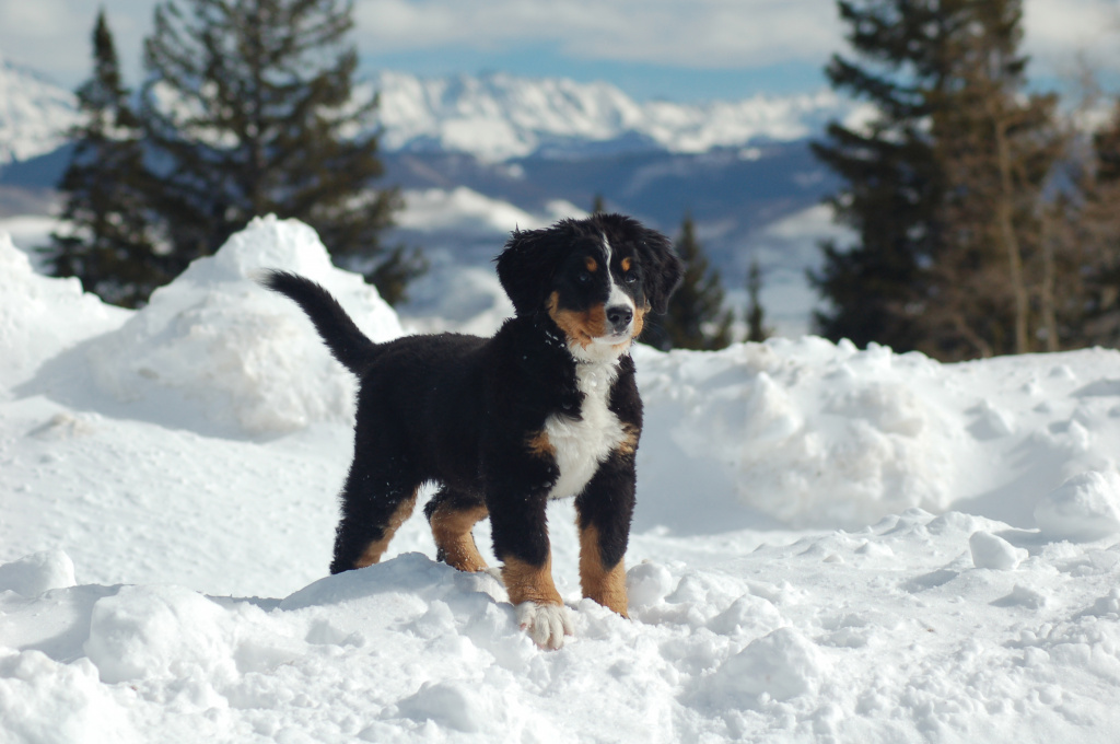 bernese-mountain-dog-puppies-in-snow-wallpaper-1.jpg