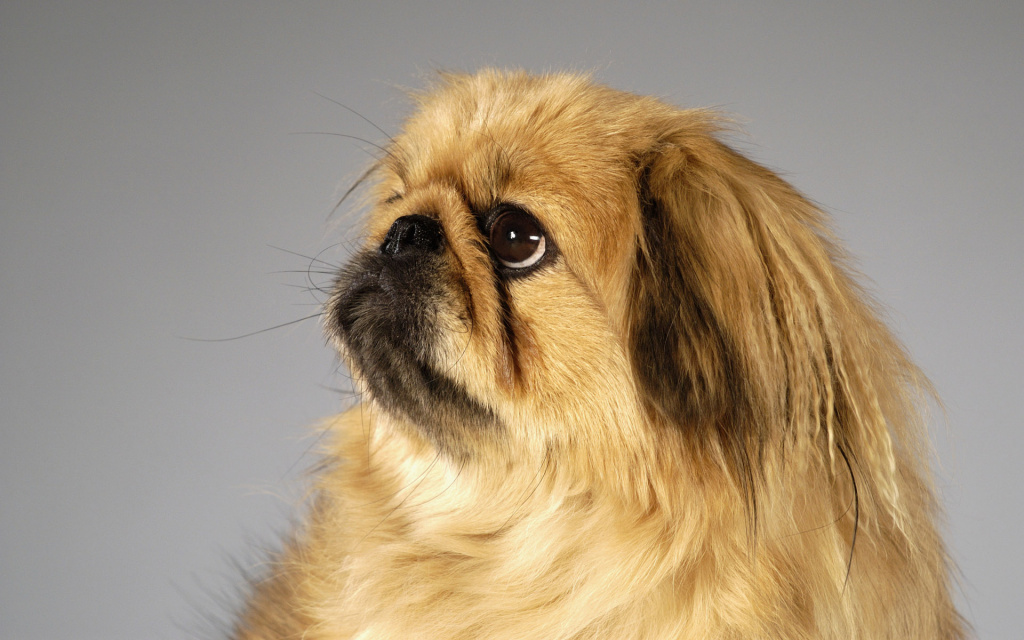 Animals_Dogs_Pekingese_018842_.jpg